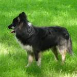 Loke - en rigtig vandhund