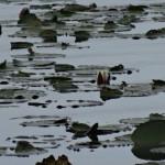 Nøkker i vandet