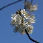 Kirsebær og blå himmel