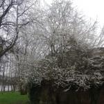 Mirabelletræet blomstrer