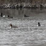 Svømmefugle